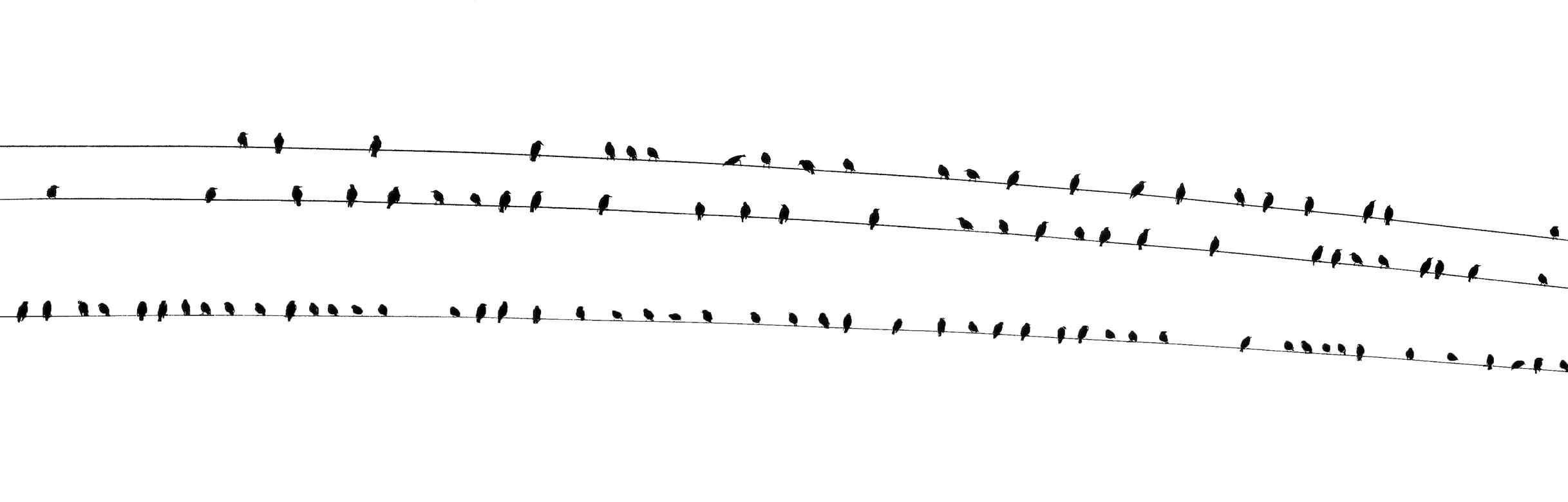 Wide image black birds sitting on wires against white background - panorama, high contrast, background.